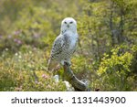 A Snowy Owl Perched On An Old...