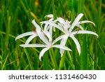 Swamp Lily  Crinum Americanum ...