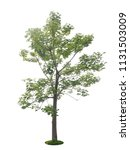 Tree Dicut At Isolated On Whit...