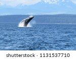 Humpback Whale Breaching  In...