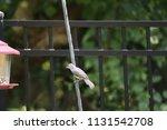 chickadee titmouse songbird... | Shutterstock . vector #1131542708