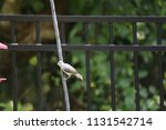 chickadee titmouse songbird... | Shutterstock . vector #1131542714