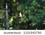 chickadee titmouse songbird... | Shutterstock . vector #1131542750