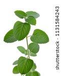 indian borage   plectranthus...   Shutterstock . vector #1131584243