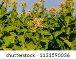 Small photo of Tobacco flowers on tobacco plants. Tobacco big leaf plantation field