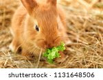 Stock photo cute fluffy bunny eating lettuce on straw 1131648506