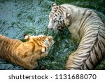 Two Of Tigers Playing In The Zoo