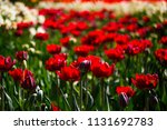 toned picture of field of red... | Shutterstock . vector #1131692783