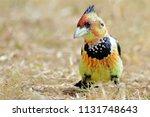 Crested Barbet In Garden