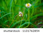 bumble bee looking for nectar... | Shutterstock . vector #1131762854