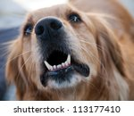 angry golden retriever barking... | Shutterstock . vector #113177410