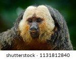 white faced saki  pithecia...   Shutterstock . vector #1131812840
