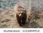big brown bear or ursus arctos... | Shutterstock . vector #1131844913