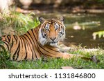 the  indochinese tiger relaxing ... | Shutterstock . vector #1131846800
