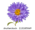 Aster Isolated On White...