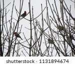 male and female house finches...   Shutterstock . vector #1131894674