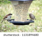 a male house sparrow and female ...   Shutterstock . vector #1131894680