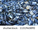 blue mussel shells gathered on...