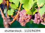 Pink bunch of grapes in the vineyard at harvest time - stock photo