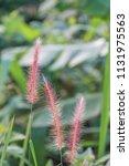 close up of pink reeds grass...   Shutterstock . vector #1131975563