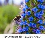 Bee And Echium Candicans