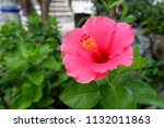 a pink color of shoe floweror ... | Shutterstock . vector #1132011863