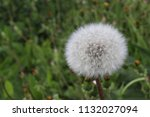 dandelion  a plant with yellow... | Shutterstock . vector #1132027094