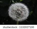 dandelion  a plant with yellow... | Shutterstock . vector #1132027100