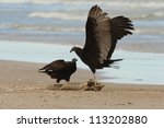 Small photo of Immature Turkey Vulture (Cathartes aura) Claiming Ownership of a Dead Lake Sturgeon (Acipenser fulvescens) Washed up on the Beach - Lake Huron, Ontario