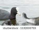 adult coot duck with chick in... | Shutterstock . vector #1132033703