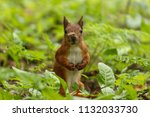 squirrel with a damaged ear.... | Shutterstock . vector #1132033730
