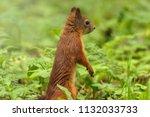 squirrel in light sunny summer... | Shutterstock . vector #1132033733