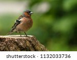 confident chaffinch stands on... | Shutterstock . vector #1132033736