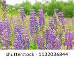 purple flower lupine macro ... | Shutterstock . vector #1132036844