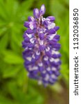 purple flower lupine macro ... | Shutterstock . vector #1132036850