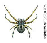 Small photo of Spider Agalenatea redii (male) on a white background