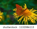 butterfly mother of pearl   ... | Shutterstock . vector #1132086113