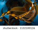 giant kelp  macrocystis... | Shutterstock . vector #1132100126