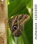 Owl Butterfly  Caligo Memnon