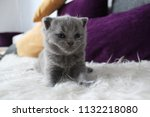 Stock photo cute kitten british with gray blue eyes sitting on a white artificial rug 1132218080