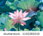 blooming lotus or waterlilly... | Shutterstock . vector #1132283210
