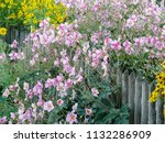 anemone hupehensis growing on a ... | Shutterstock . vector #1132286909