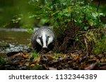 badger in forest  animal in... | Shutterstock . vector #1132344389