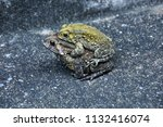 toad and lover | Shutterstock . vector #1132416074