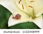 closeup on a garden snail on... | Shutterstock . vector #1132448999