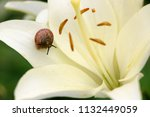 closeup on a garden snail on... | Shutterstock . vector #1132449059