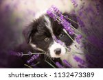 Stock photo adorable portrait of amazing cute border collie puppy in the violet lavender flowers 1132473389