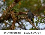mangrove black hawk ... | Shutterstock . vector #1132569794