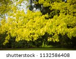 vibrant colors of northern red...   Shutterstock . vector #1132586408