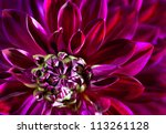 Dahlia. Autumn Flower Macro...